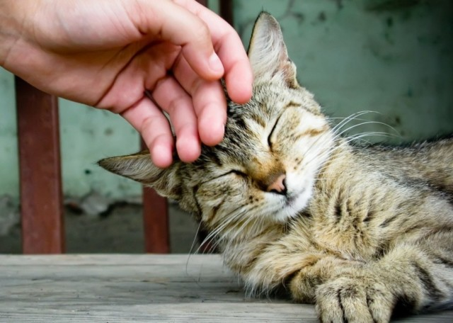 Почему мурлыкает кошка, научные факты