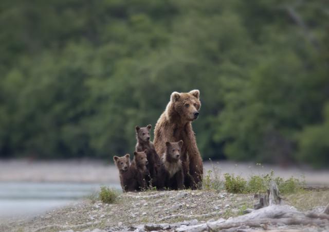 Невероятные фото медвежат и их родителей