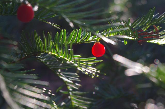 Новогодняя елка: как правильно выбрать живую елку