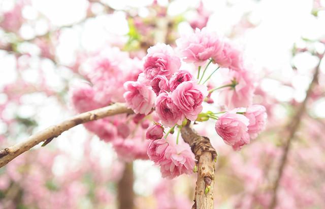 Как цветет сакура или 50 оттенков розового