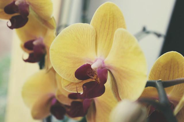 Почему вянет орхидея и как ее спасти