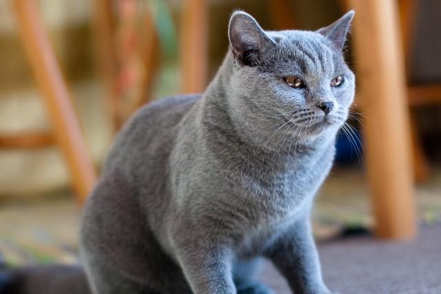 ТОП-10 самых дорогих пород кошек в мире