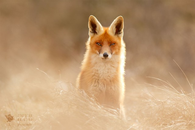 Фотограф Roeselien Raimond и ее веселые лисы